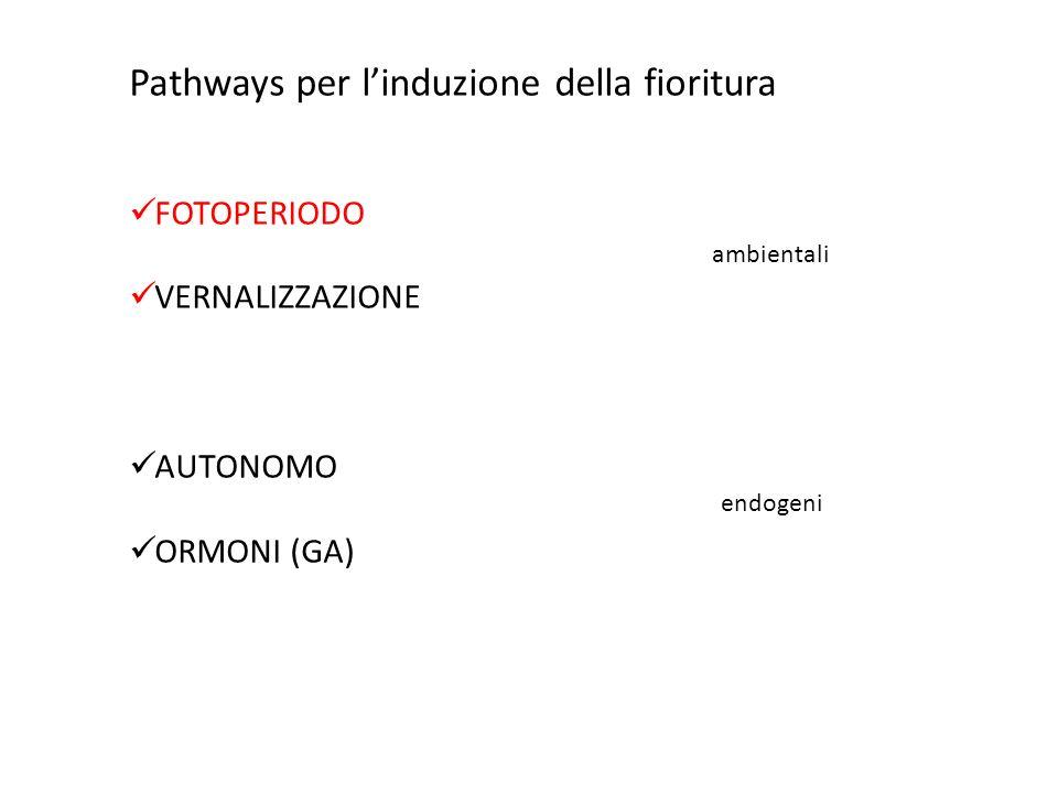 Pathways per linduzione della fioritura FOTOPERIODO VERNALIZZAZIONE AUTONOMO ORMONI (GA) ambientali endogeni