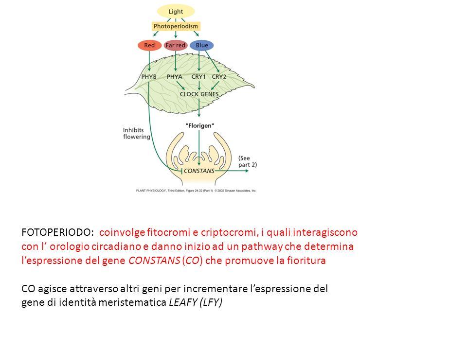 FOTOPERIODO: coinvolge fitocromi e criptocromi, i quali interagiscono con l orologio circadiano e danno inizio ad un pathway che determina lespressione del gene CONSTANS (CO) che promuove la fioritura CO agisce attraverso altri geni per incrementare lespressione del gene di identità meristematica LEAFY (LFY)