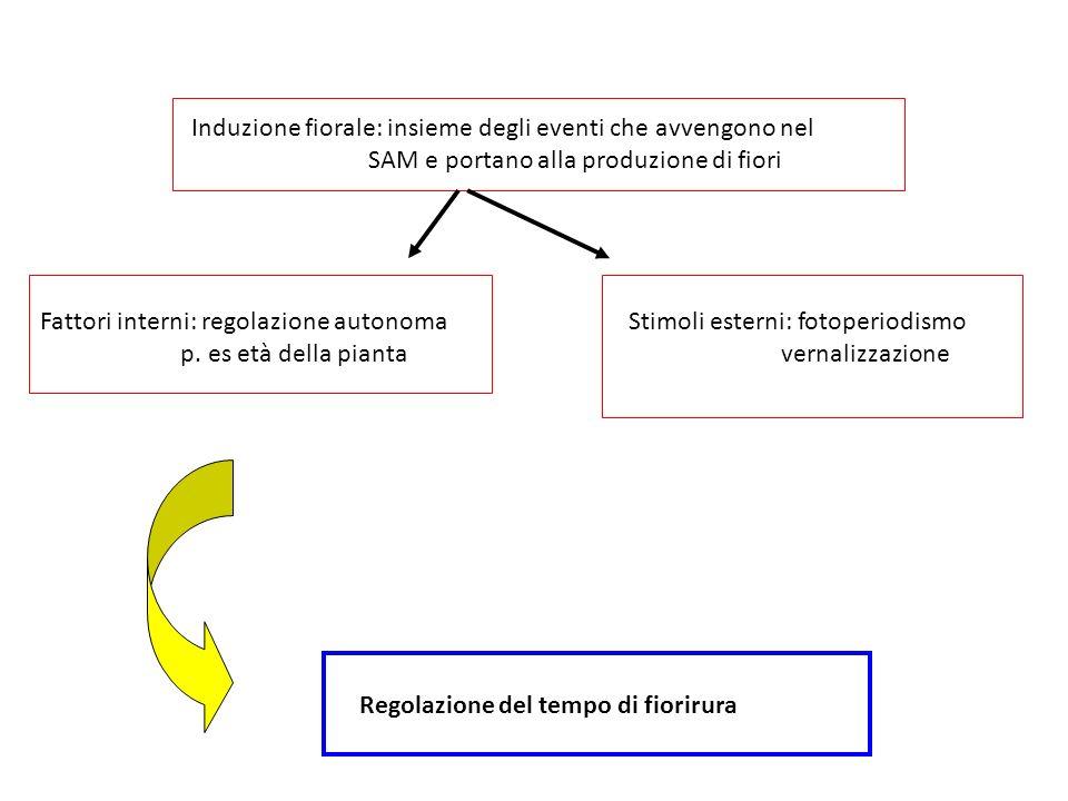 Induzione fiorale: insieme degli eventi che avvengono nel SAM e portano alla produzione di fiori Fattori interni: regolazione autonoma p. es età della