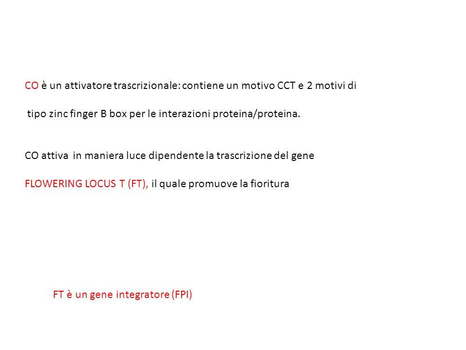 CO è un attivatore trascrizionale: contiene un motivo CCT e 2 motivi di tipo zinc finger B box per le interazioni proteina/proteina. CO attiva in mani