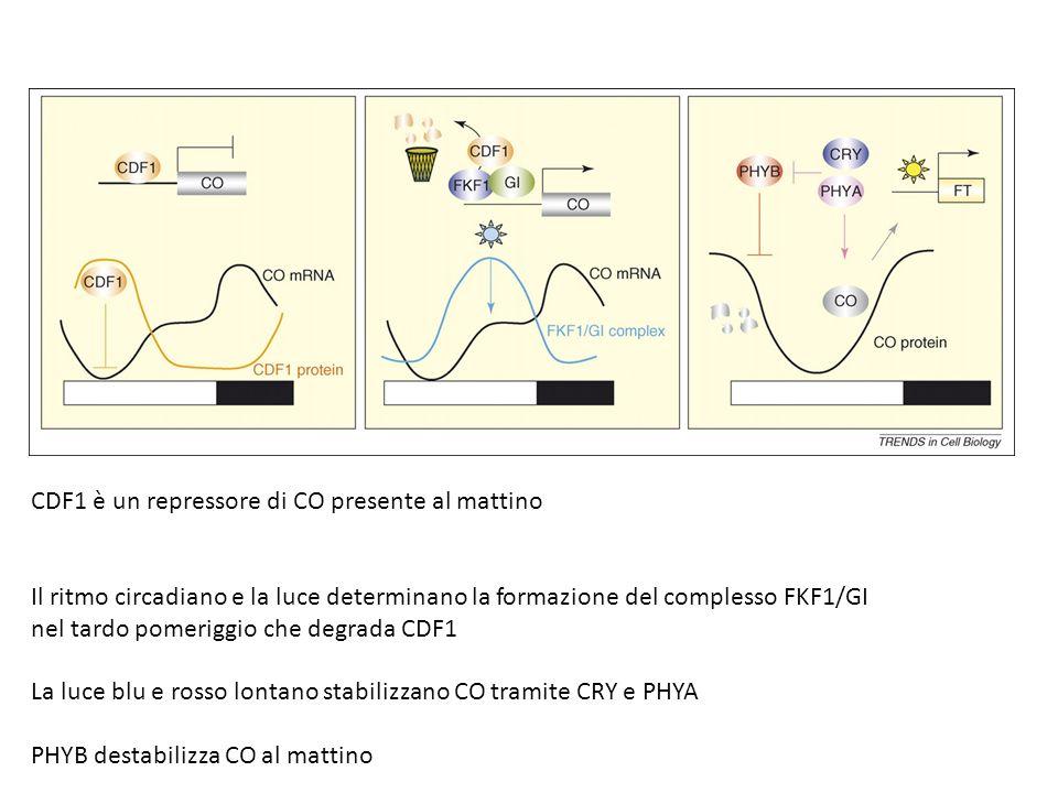 CDF1 è un repressore di CO presente al mattino Il ritmo circadiano e la luce determinano la formazione del complesso FKF1/GI nel tardo pomeriggio che degrada CDF1 La luce blu e rosso lontano stabilizzano CO tramite CRY e PHYA PHYB destabilizza CO al mattino