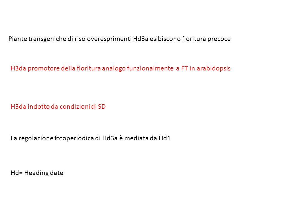 Piante transgeniche di riso overesprimenti Hd3a esibiscono fioritura precoce H3da promotore della fioritura analogo funzionalmente a FT in arabidopsis H3da indotto da condizioni di SD La regolazione fotoperiodica di Hd3a è mediata da Hd1 Hd= Heading date