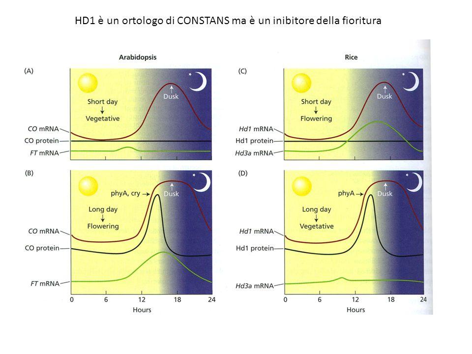 HD1 è un ortologo di CONSTANS ma è un inibitore della fioritura