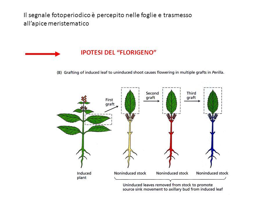 Il segnale fotoperiodico è percepito nelle foglie e trasmesso allapice meristematico IPOTESI DEL FLORIGENO