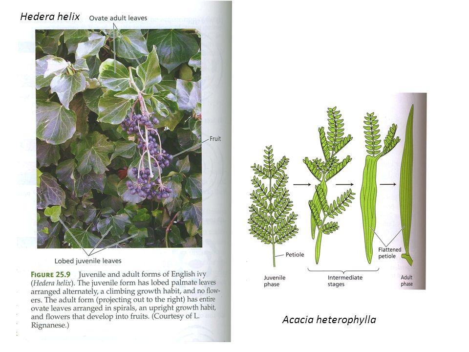 Acacia heterophylla Hedera helix