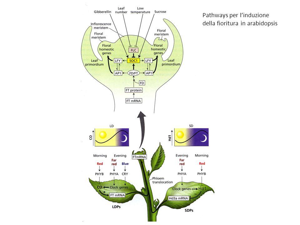 Pathways per linduzione della fioritura in arabidopsis