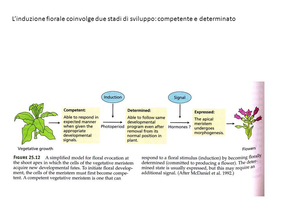 Linduzione fiorale coinvolge due stadi di sviluppo: competente e determinato