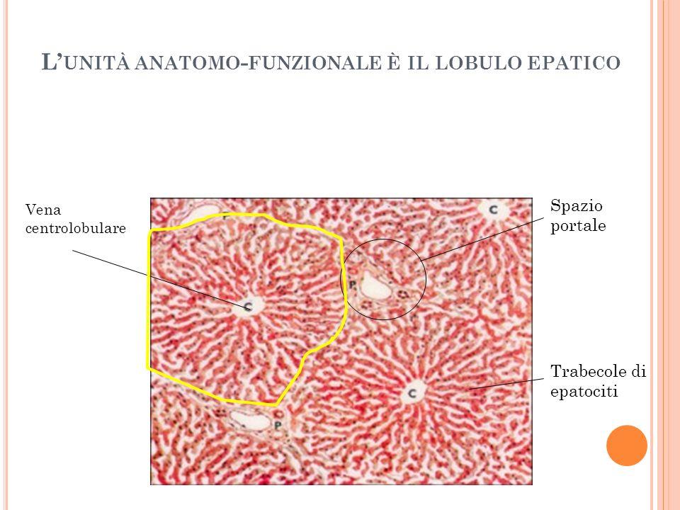 L UNITÀ ANATOMO - FUNZIONALE È IL LOBULO EPATICO Vena centrolobulare Spazio portale Trabecole di epatociti