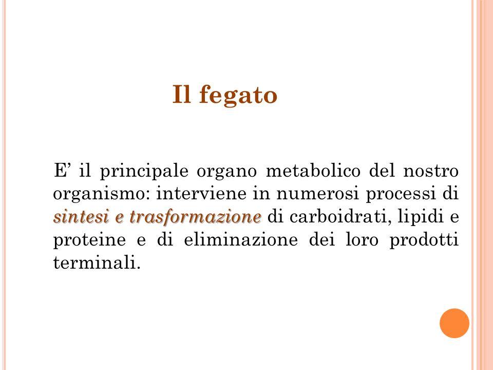 sintesi e trasformazione E il principale organo metabolico del nostro organismo: interviene in numerosi processi di sintesi e trasformazione di carboi