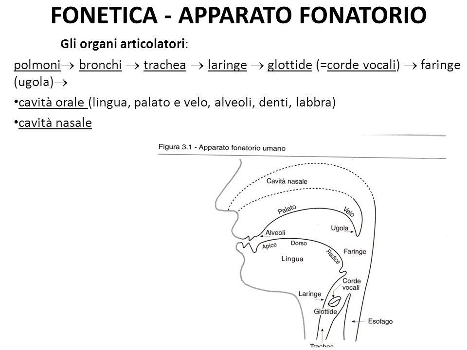 FONETICA - APPARATO FONATORIO Gli organi articolatori: polmoni bronchi trachea laringe glottide (=corde vocali) faringe (ugola) cavità orale (lingua, palato e velo, alveoli, denti, labbra) cavità nasale