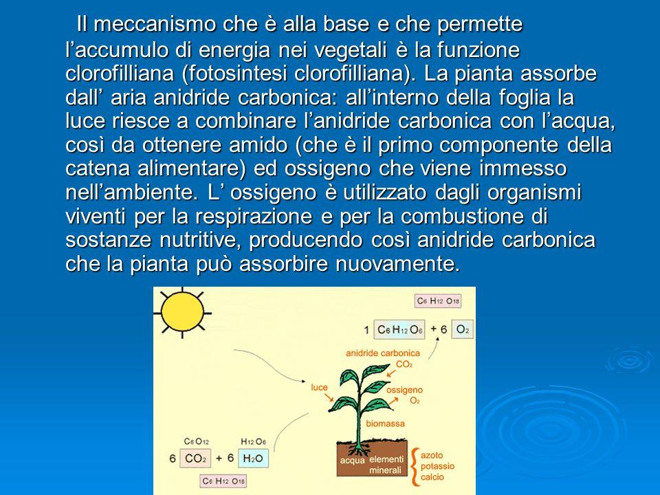 FOTOSINTESI CLOROFILLIANA FOTOSINTESI CLOROFILLIANA Molecole di clorofilla Energia luminosa Sole Scissione Molecola dell acqua Ossigeno Idrogeno Anidr