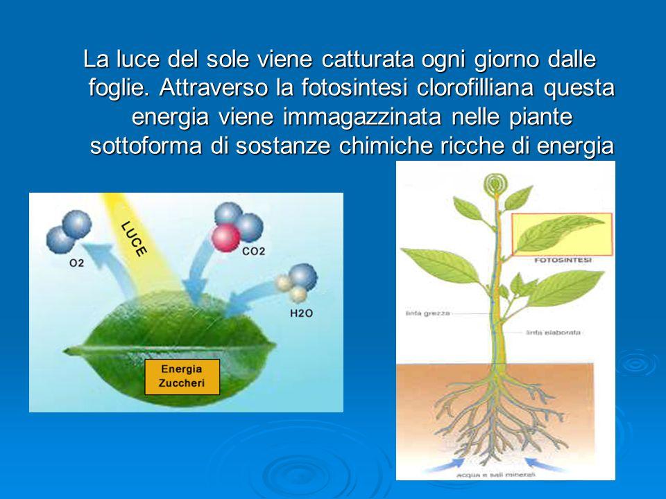 LE PIANTE… fotosintesi oggi FORAGGERE (En. chimica) ALIMENTARI ( En. chimica ) ALBERI ( En. chimica ) BIOMASSA ( En. chimica ) animaliuomolegnobiogas