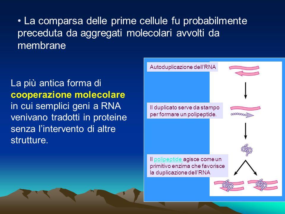 La comparsa delle prime cellule fu probabilmente preceduta da aggregati molecolari avvolti da membrane Autoduplicazione dellRNA Il duplicato serve da