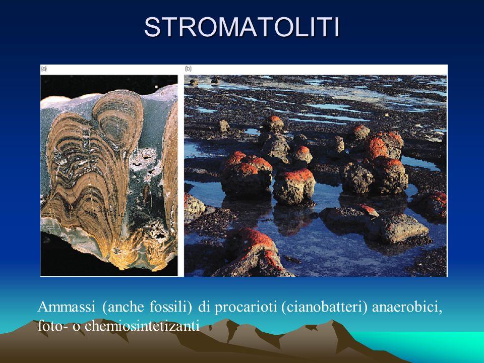 STROMATOLITI Ammassi (anche fossili) di procarioti (cianobatteri) anaerobici, foto- o chemiosintetizanti