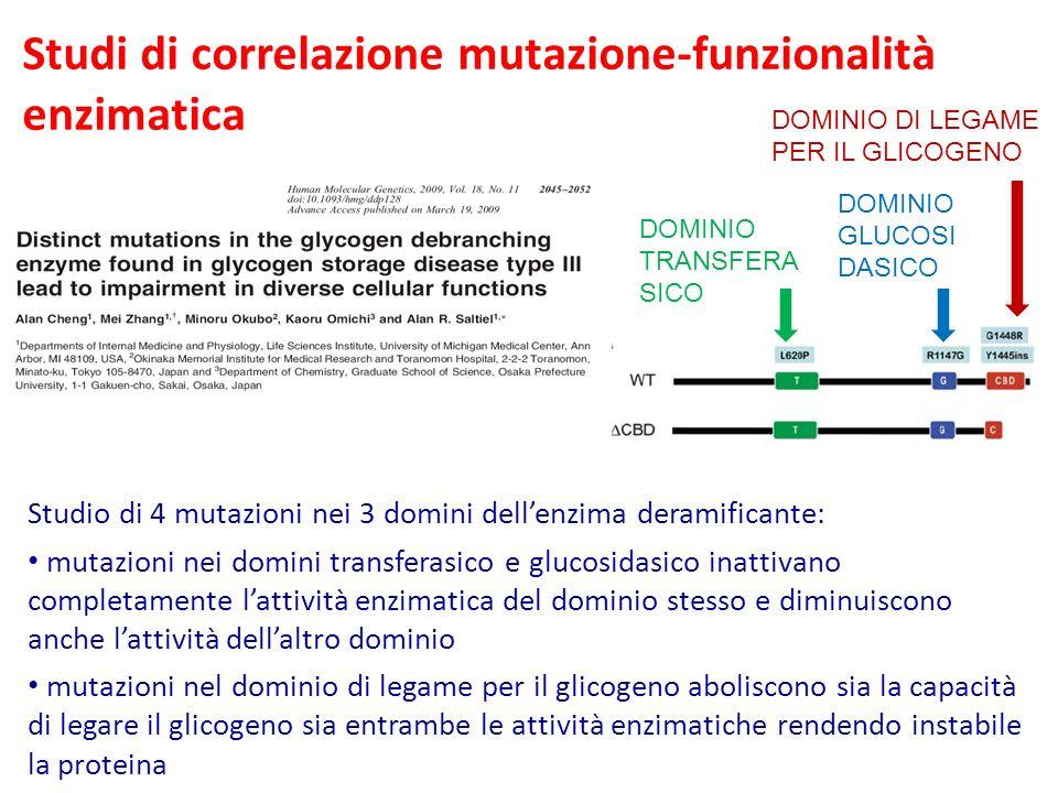 Studi di correlazione mutazione-funzionalità enzimatica Studio di 4 mutazioni nei 3 domini dellenzima deramificante: mutazioni nei domini transferasico e glucosidasico inattivano completamente lattività enzimatica del dominio stesso e diminuiscono anche lattività dellaltro dominio mutazioni nel dominio di legame per il glicogeno aboliscono sia la capacità di legare il glicogeno sia entrambe le attività enzimatiche rendendo instabile la proteina DOMINIO TRANSFERA SICO DOMINIO GLUCOSI DASICO DOMINIO DI LEGAME PER IL GLICOGENO