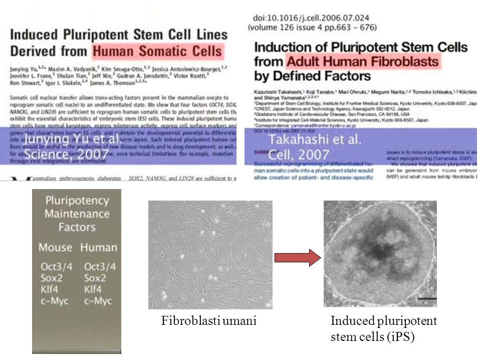 Fibroblasti umaniInduced pluripotent stem cells (iPS)