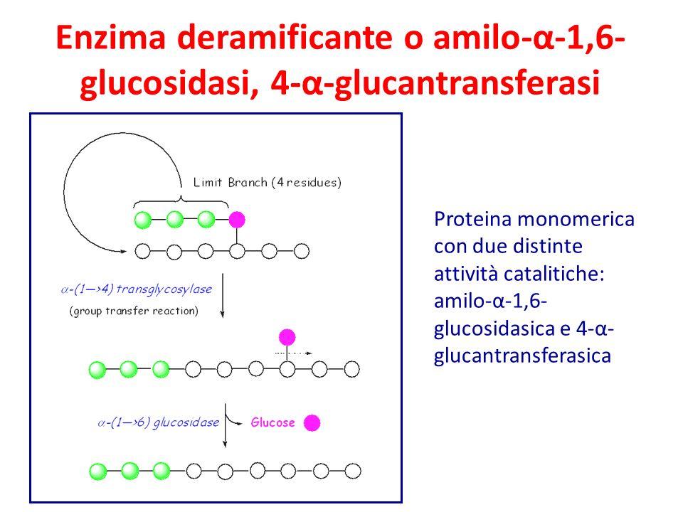 Enzima deramificante o amilo-α-1,6- glucosidasi, 4-α-glucantransferasi Proteina monomerica con due distinte attività catalitiche: amilo-α-1,6- glucosidasica e 4-α- glucantransferasica