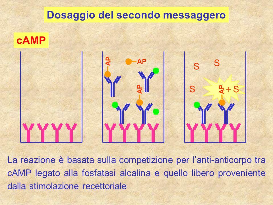 cAMP La reazione è basata sulla competizione per lanti-anticorpo tra cAMP legato alla fosfatasi alcalina e quello libero proveniente dalla stimolazion