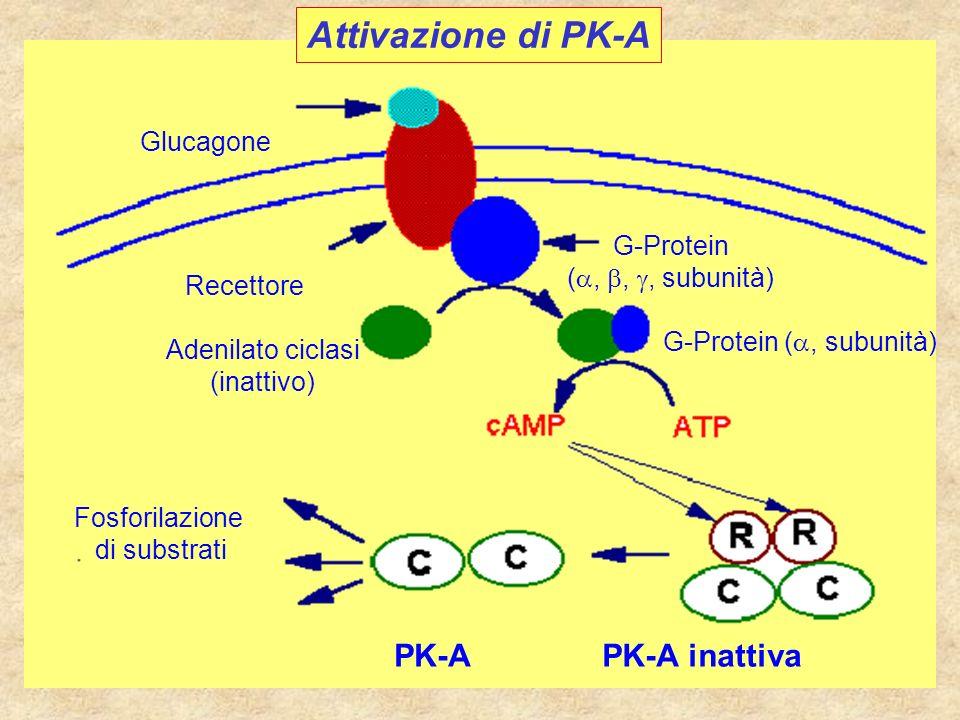 Attivazione di PK-A Glucagone Recettore G-Protein (,,, subunità) PK-A inattivaPK-A Adenilato ciclasi (inattivo) G-Protein (, subunità) Fosforilazione