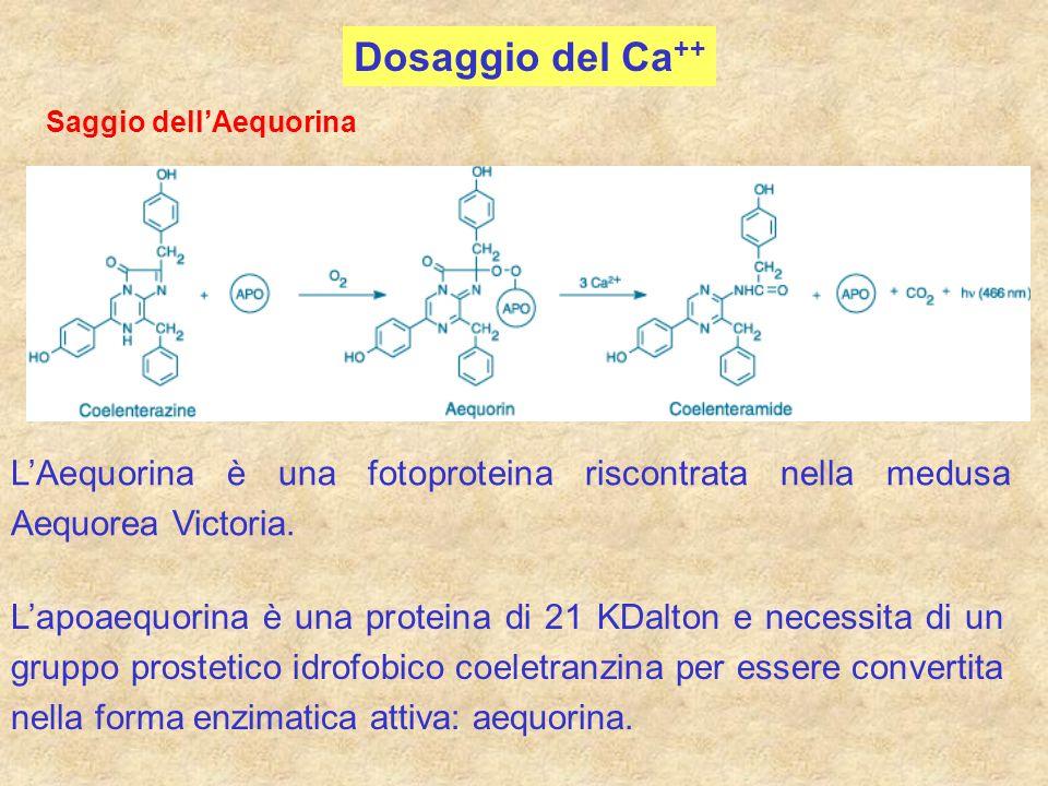 Saggio dellAequorina LAequorina è una fotoproteina riscontrata nella medusa Aequorea Victoria. Lapoaequorina è una proteina di 21 KDalton e necessita
