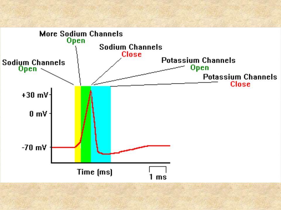 La stimolazione del preparato biologico può essere effettuata Elettricamente Farmacologicamente In alcuni esperimenti può essere necessario stimolare elettricamente il preparato.