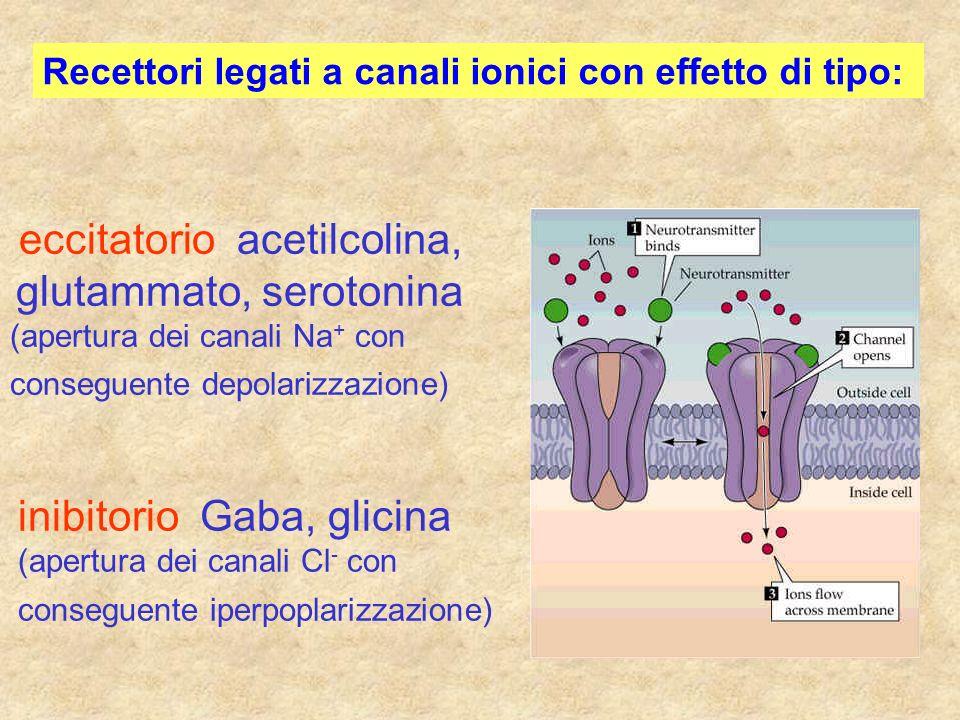 Recettori legati a canali ionici con effetto di tipo: eccitatorio acetilcolina, glutammato, serotonina (apertura dei canali Na + con conseguente depol