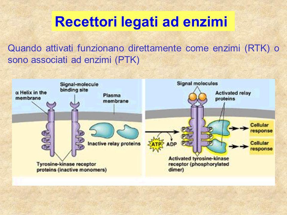 Quando attivati funzionano direttamente come enzimi (RTK) o sono associati ad enzimi (PTK) Recettori legati ad enzimi