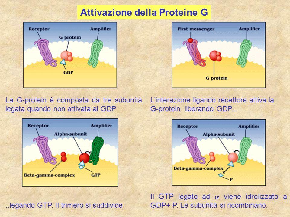 Attivazione della Proteine G La G-protein è composta da tre subunità legata quando non attivata al GDP Linterazione ligando recettore attiva la G-prot