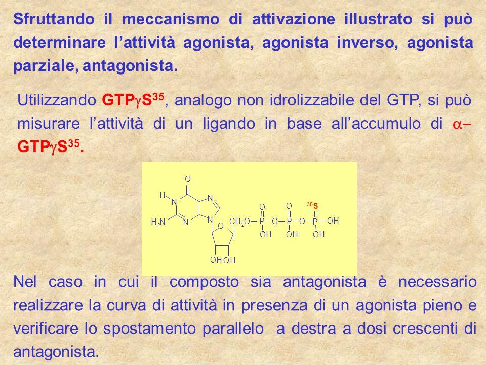 Sfruttando il meccanismo di attivazione illustrato si può determinare lattività agonista, agonista inverso, agonista parziale, antagonista. Utilizzand