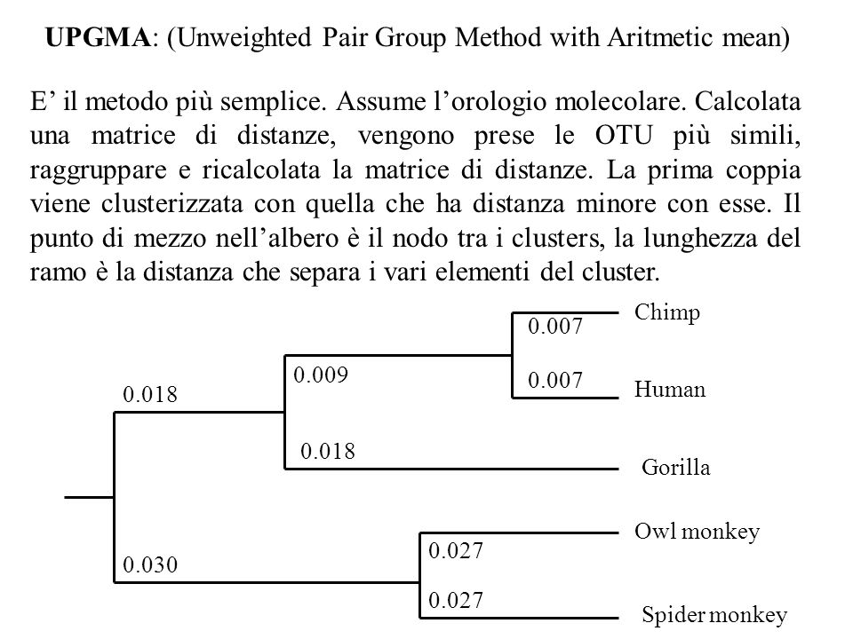 UPGMA: (Unweighted Pair Group Method with Aritmetic mean) E il metodo più semplice. Assume lorologio molecolare. Calcolata una matrice di distanze, ve