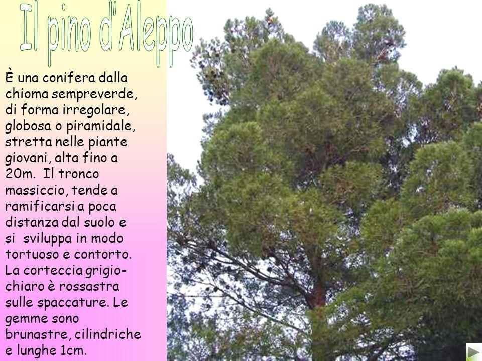 È una conifera dalla chioma sempreverde, di forma irregolare, globosa o piramidale, stretta nelle piante giovani, alta fino a 20m.