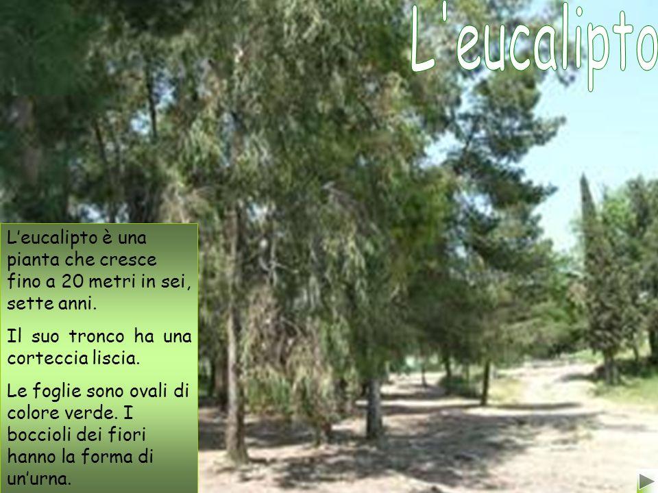 Leucalipto è una pianta che cresce fino a 20 metri in sei, sette anni.