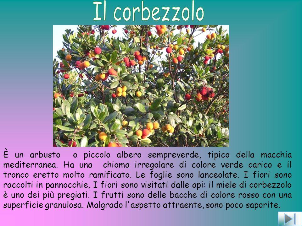 È un arbusto o piccolo albero sempreverde, tipico della macchia mediterranea.