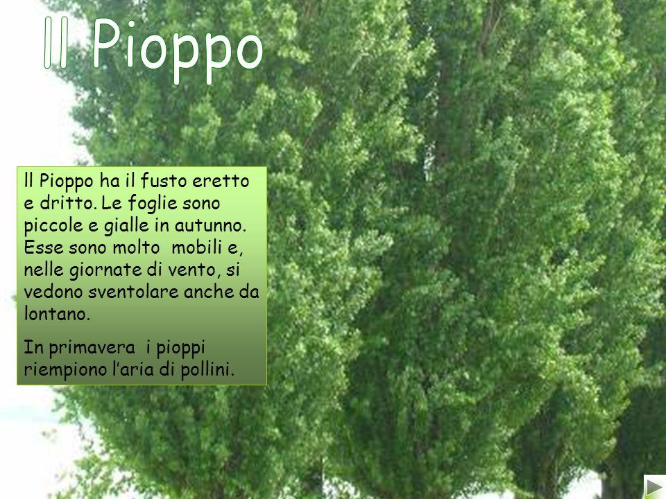 ll Pioppo ha il fusto eretto e dritto.Le foglie sono piccole e gialle in autunno.