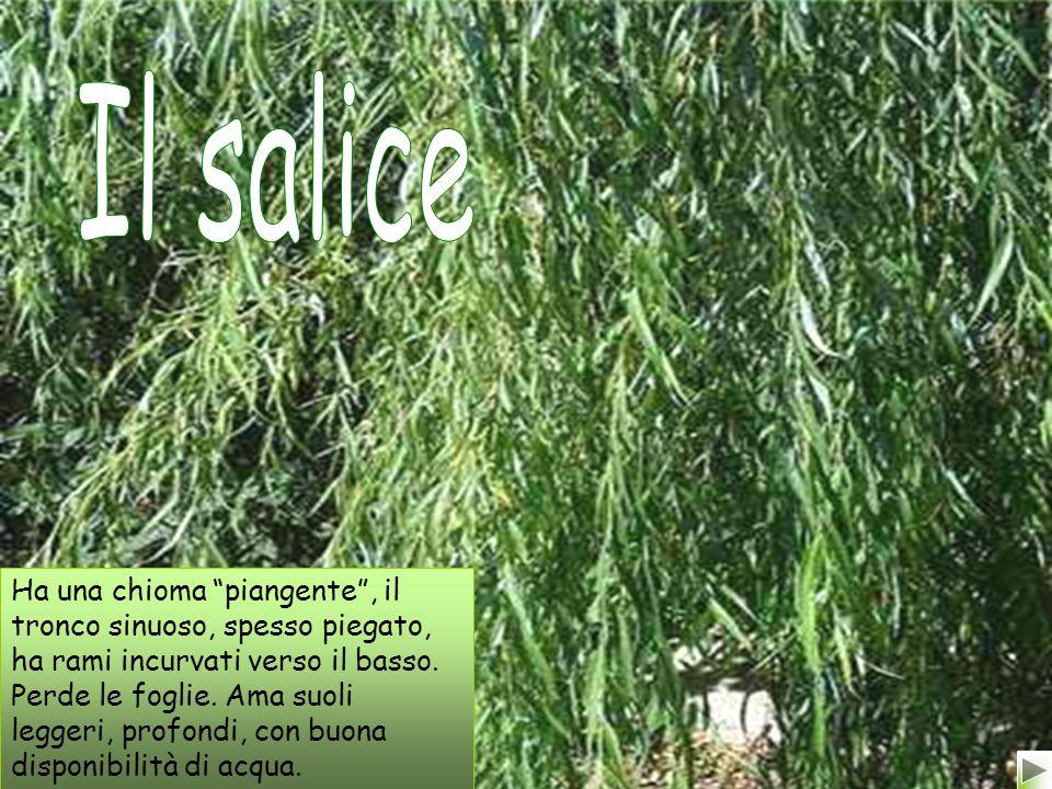 Le tamerici sono piante arboree che vivono vicino i corsi dacqua e producono fiori bianchi o rosa.