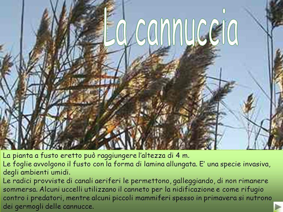 La pianta a fusto eretto può raggiungere laltezza di 4 m.