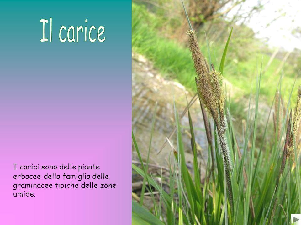 È un sempreverde tipico della macchia mediterranea.