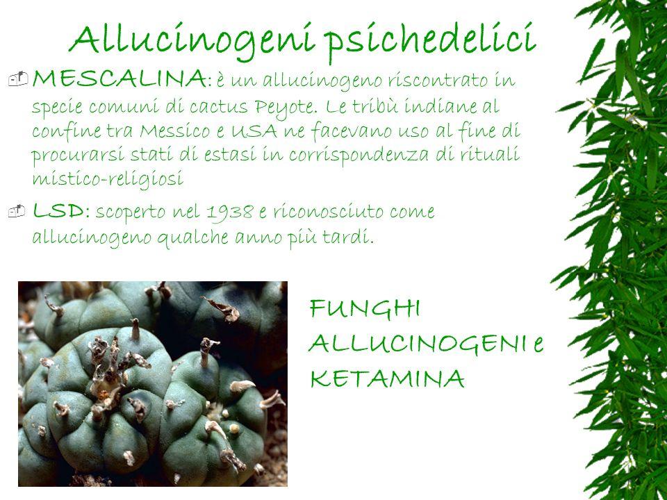 Allucinogeni psichedelici MESCALINA : è un allucinogeno riscontrato in specie comuni di cactus Peyote.
