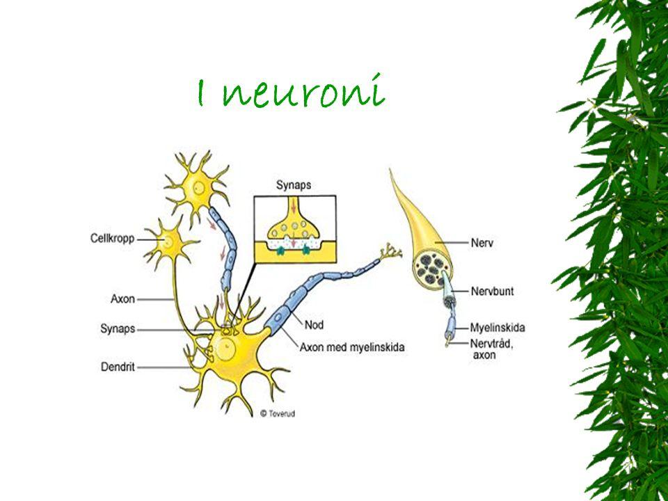 Principali neurotrasmettitori Noradrenalina Dopamina Acetilcolina Istamina GABA Serotonina Adrenalina Acido aspartico Glicina