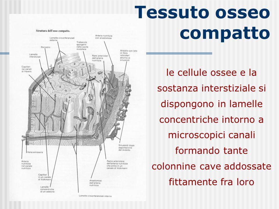 Tessuto osseo compatto le cellule ossee e la sostanza interstiziale si dispongono in lamelle concentriche intorno a microscopici canali formando tante