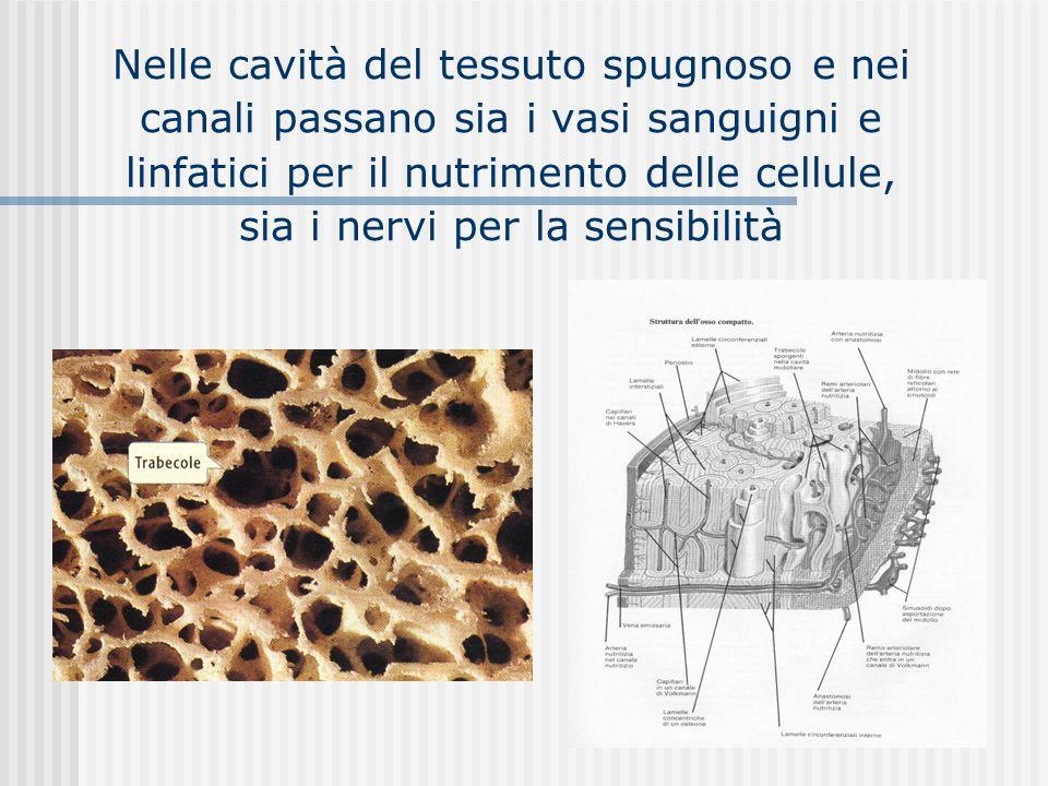 Nelle cavità del tessuto spugnoso e nei canali passano sia i vasi sanguigni e linfatici per il nutrimento delle cellule, sia i nervi per la sensibilit