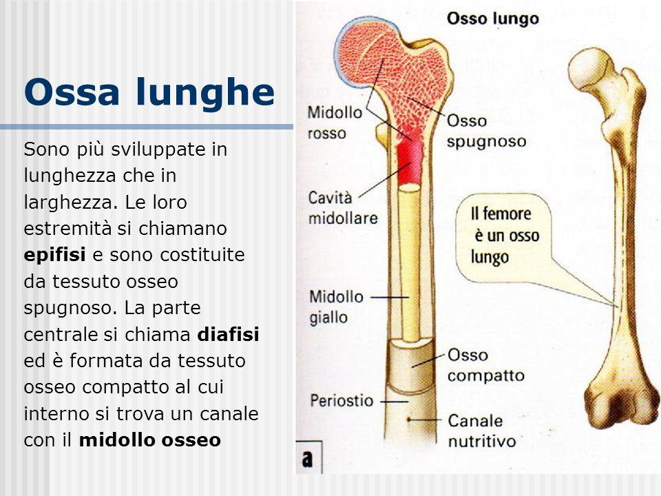 Ossa lunghe Sono più sviluppate in lunghezza che in larghezza. Le loro estremità si chiamano epifisi e sono costituite da tessuto osseo spugnoso. La p
