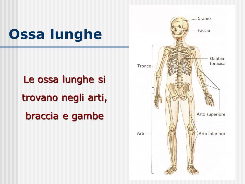 Ossa lunghe Le ossa lunghe si trovano negli arti, braccia e gambe