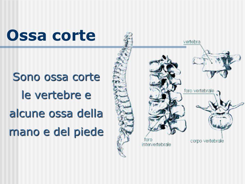 Ossa corte Sono ossa corte le vertebre e alcune ossa della mano e del piede