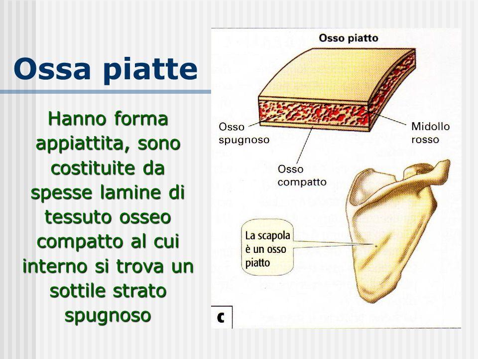 Ossa piatte Hanno forma appiattita, sono costituite da spesse lamine di tessuto osseo compatto al cui interno si trova un sottile strato spugnoso
