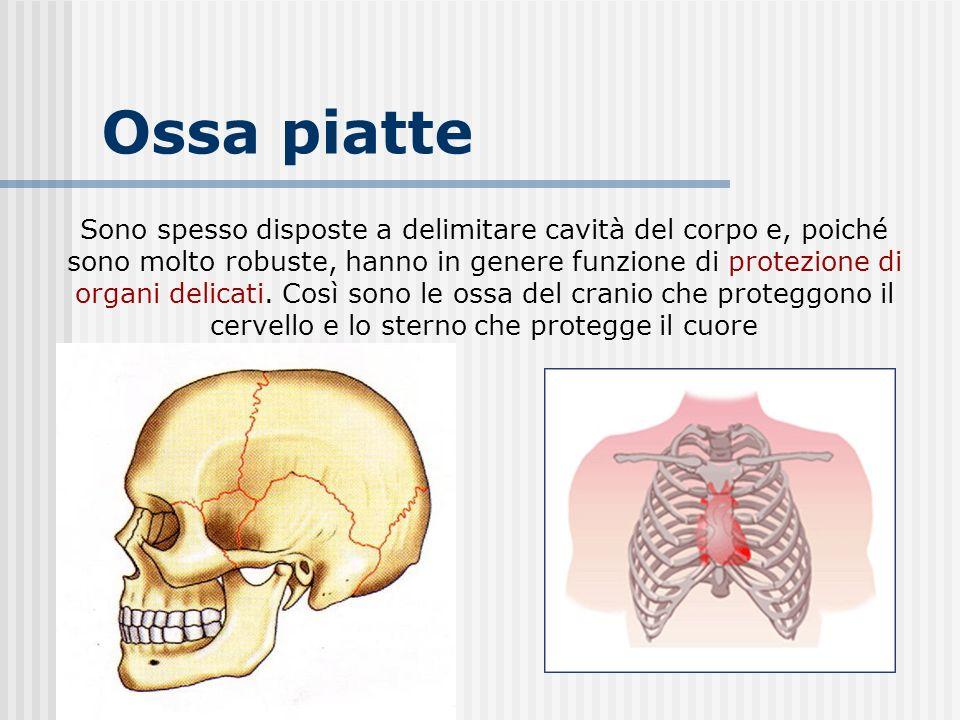 Ossa piatte Sono spesso disposte a delimitare cavità del corpo e, poiché sono molto robuste, hanno in genere funzione di protezione di organi delicati