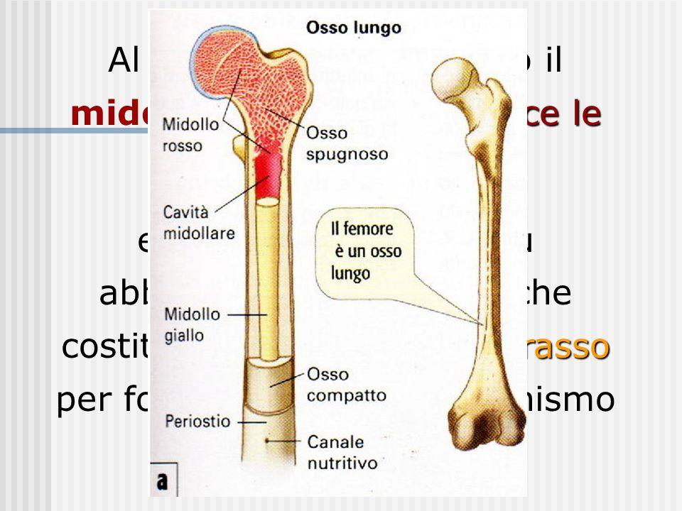 produce le cellule del sangue Al loro interno si trovano il midollo rosso, che produce le cellule del sangue, riserva di grasso e il midollo giallo, p