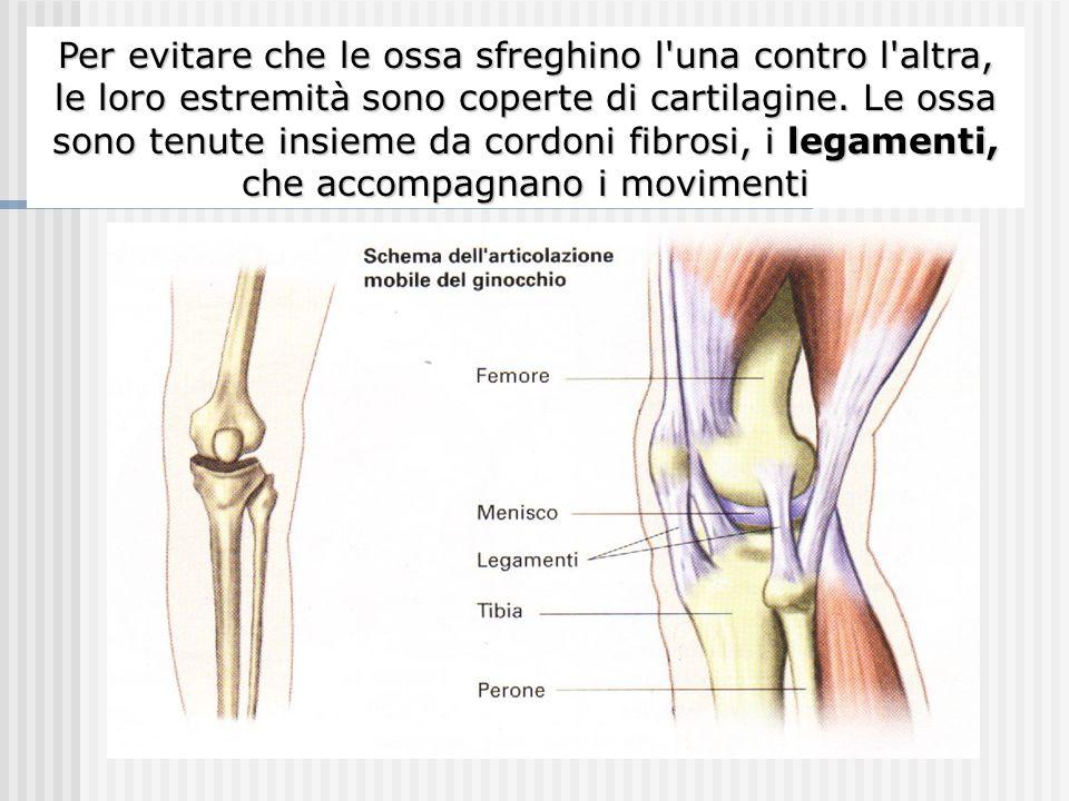 I punti di giunzione tra due ossa vicine si chiamano articolazioni Per evitare che le ossa sfreghino l'una contro l'altra, le loro estremità sono cope