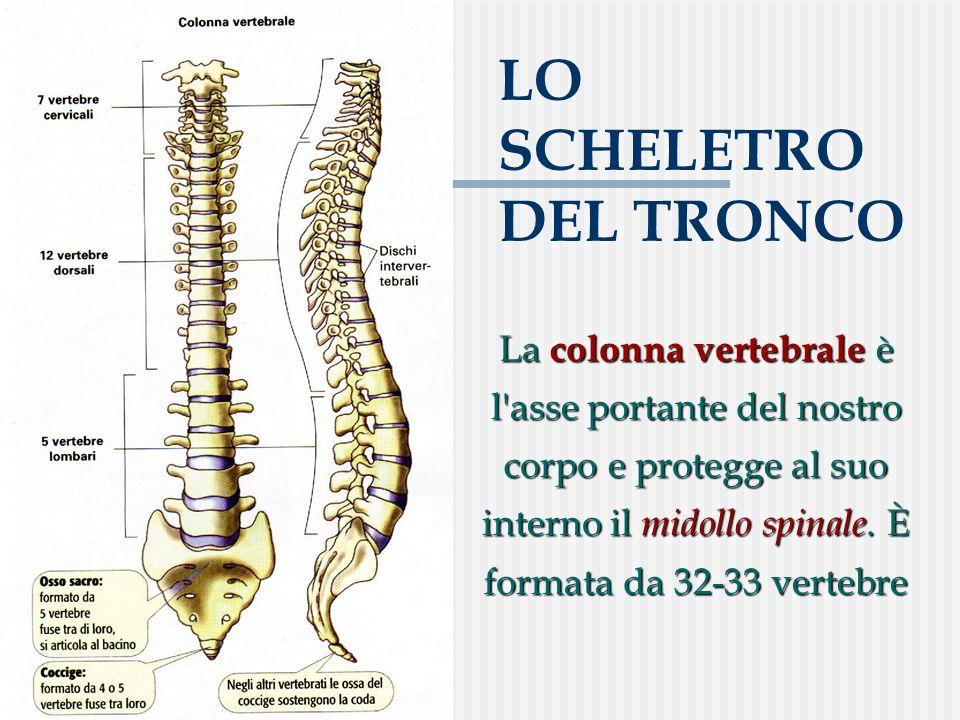 LO SCHELETRO DEL TRONCO La colonna vertebrale è l'asse portante del nostro corpo e protegge al suo interno il midollo spinale. È formata da 32-33 vert