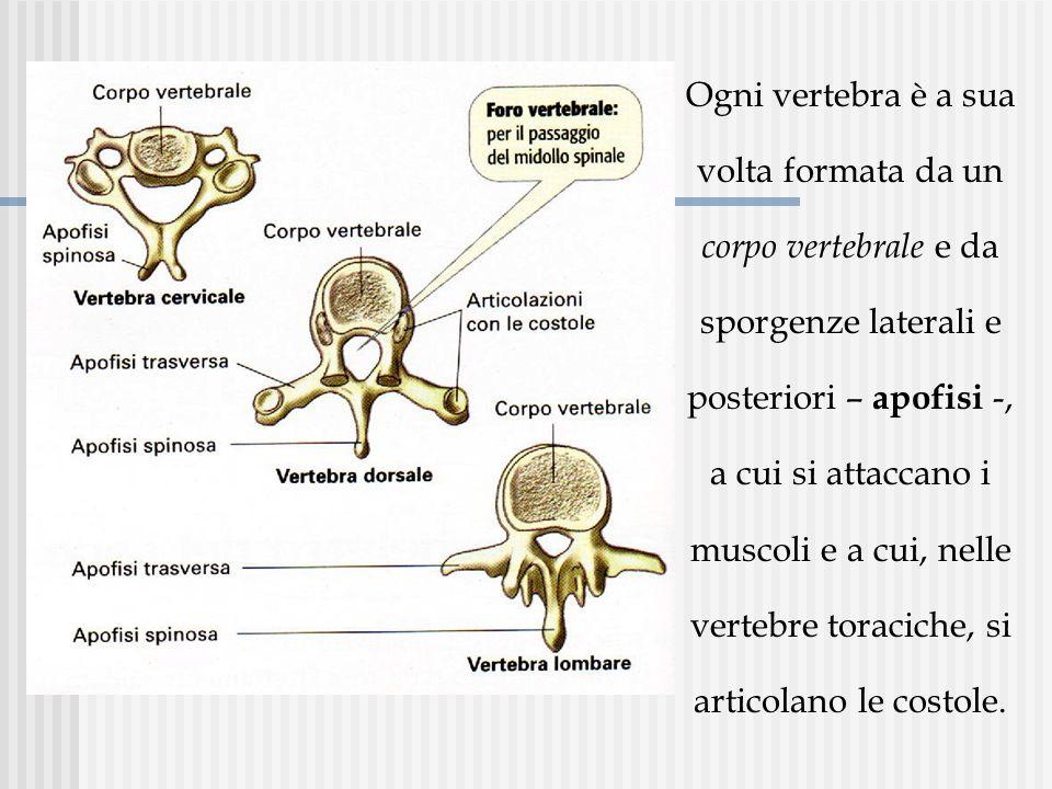 Ogni vertebra è a sua volta formata da un corpo vertebrale e da sporgenze laterali e posteriori – apofisi -, a cui si attaccano i muscoli e a cui, nel